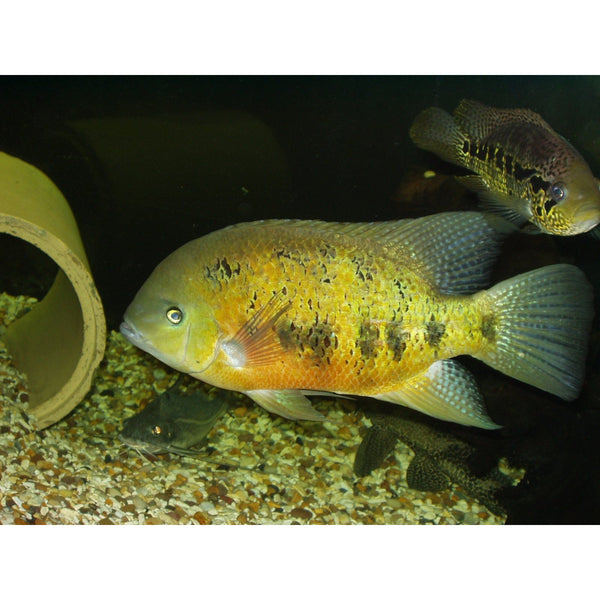 "x3 Package - Herichthys Bocourti Cichlid  Sml 1""- 1 1/2"" Each"