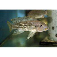 "x3 Package - Neolamprologus Tetracanthus Cichlid  Sml 1""- 1 1/2"" Each"