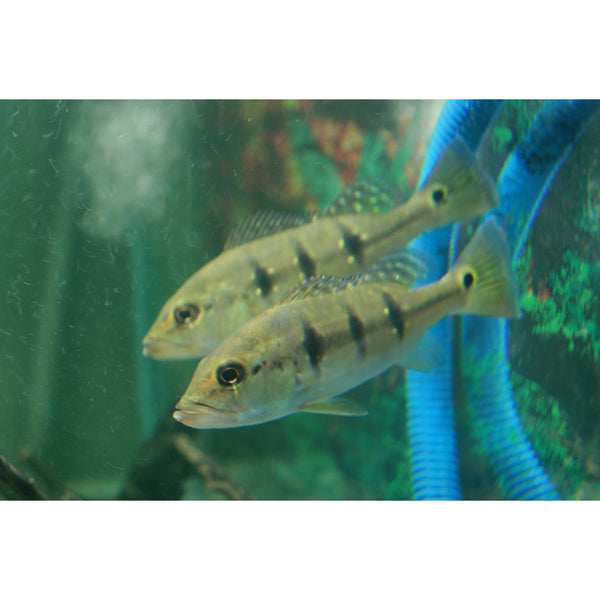"x3 Package - Peacock Bass Cichlid  Sml 1""- 1 1/2"" Each"