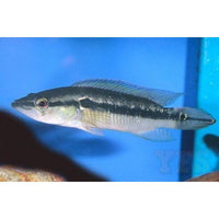 "x3 Package - Pike Cichlid Colombia  Sml 1""- 1 1/2"" Each"