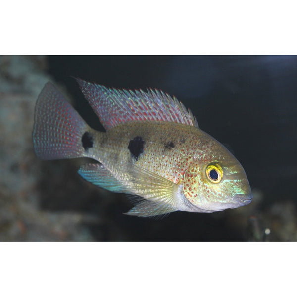 "x3 Package - Pinto Vieja  Sml 1""- 1 1/2"" Eachani Cichlid  Sml 1""- 1 1/2"" Each"