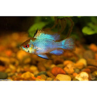 "x4 Package - Electric Blue Ram Cichlid  Sml 1""- 1 1/2"" Each"