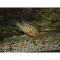 "x4 Package - Flowerhorn Cichlid  Sml 1""- 1 1/2"" Each"