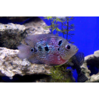 "x4 Package - Flowerhorn Parrot Cichlid  Sml 1""- 1 1/2"" Each"