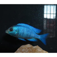 "x4 Package - Gissel Placidochromis Phenochilus Cichlid Sml/Med 1 1/2"" - 2 1/2"" Each"