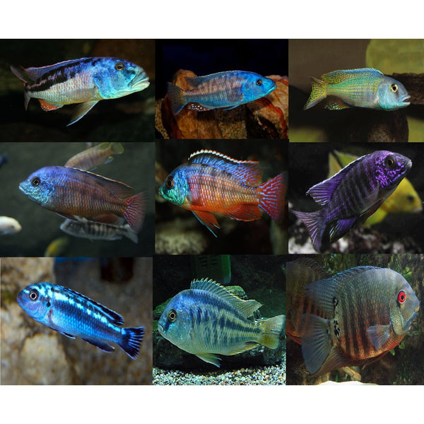 "x5 Package - Assorted African Cichlid Lrg 4"" - 5"" Each"