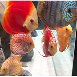 "x5 Package - Assorted Discus  Med 2""- 3 1/2"" Each"
