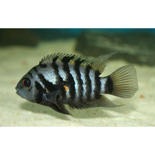 "x5 Package - Black Convict Cichlid  ~ Sml/Med 1 1/2"" - 2 1/2"" Each"