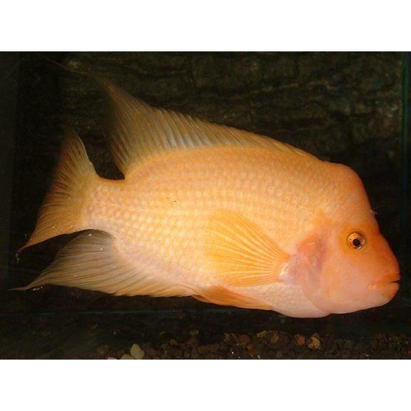 "x5 Package - Colored Red Devil Cichlid Med 2"" - 3"" Each"