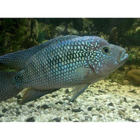 "x5 Package - Jack Dempsey Cichlid Med 2"" - 3"" Each"