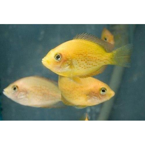 "x5 Package - Red Chromide Cichlid  Sml 1""- 1 1/2"" Each"