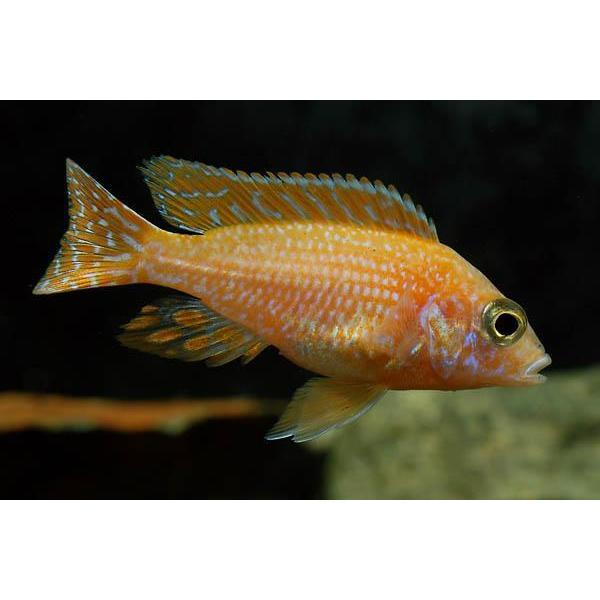 "x5 Package - Strawberry Peacock Cichlid  Sml 1""- 1 1/2"" Each"