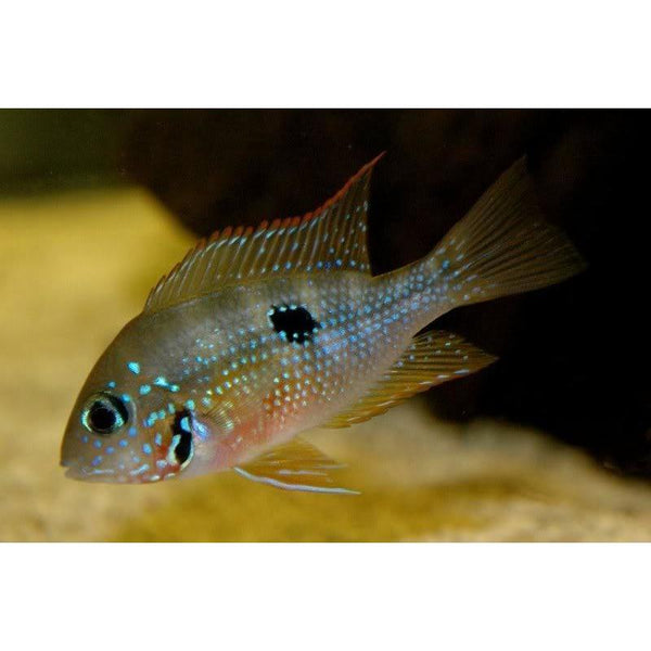 "x5 Package - Thorichthys Ellioti Cichlid  Sml 1""- 1 1/2"" Each"