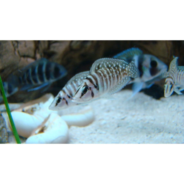 "x5 Package - White Altolamprologus Calvus Cichlid  Sml 1""- 1 1/2"" Each"
