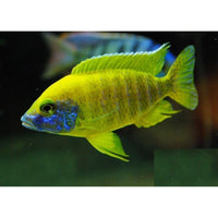 "x6 Package - Sunshine Peacock Cichlid  Sml 1""- 1 1/2"" Each"