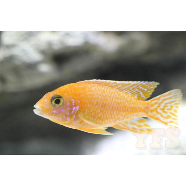 "x7 Package - Ruby Crystal Peacock Cichlid  Sml 1""- 1 1/2"" Each"