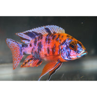 "x8 Package - Orange Blotched Peacock Cichlid  Sml 1""- 1 1/2"" Each"
