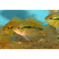 "x8 Package - Rainbow Cichlid  Sml 1""- 1 1/2"" Each"
