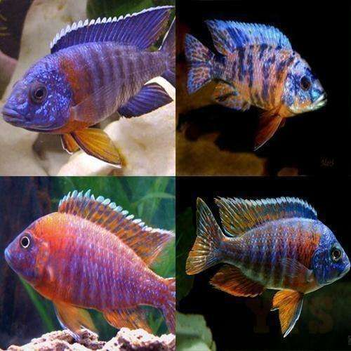 "x10 Package - Assorted Aulonocara Peacock Cichlid  Sml/Med 1 1/2"" - 2 1/2"" Each"