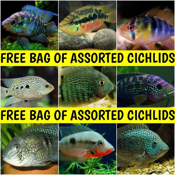 x10 Package - Assorted South American Cichlids *Orders Over $149*