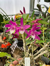 Load image into Gallery viewer, Dendrobium Rainbow Dance