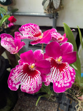 Load image into Gallery viewer, Miltoniopsis Morris Chestnut 'HOF#5'