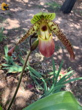 Load image into Gallery viewer, Paph. Pinocchio 'Cupping' x Chiu Hua Dancer '#3'