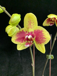 Phal. Cian Queen x P. Diamond Beauty