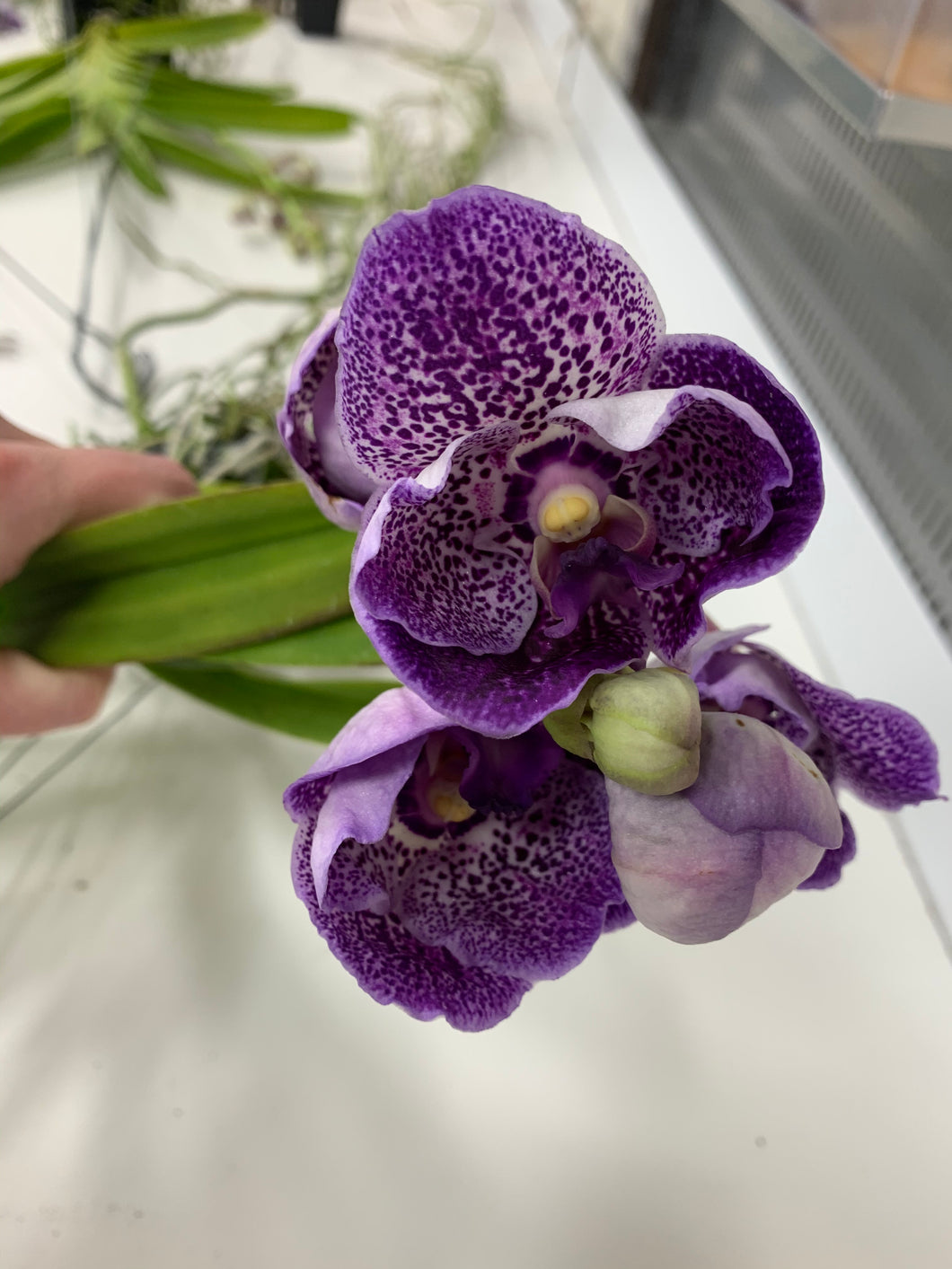Vanda Robert's Delight 'Thor Blue'