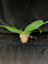 Load image into Gallery viewer, Phalaenopsis heiroglyphica flava x sib
