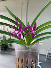 Load image into Gallery viewer, Neostylis Lou Sneary 'Dark Pink' (Neo. falcata x Rhy. coelestis)