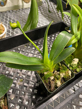 Load image into Gallery viewer, Paphiopedilum dianthum var. album