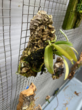 Load image into Gallery viewer, Gastrochilus bellinus