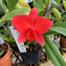 Load image into Gallery viewer, Sl. Minipet (Sl. Orpetii x S. coccinea)