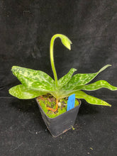 Load image into Gallery viewer, Paph. Hsinying Majakun '#7' x Hilo Green 'Tall Hat'