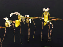 Load image into Gallery viewer, Paph. Temptation (Paph. kolopakingii var. topperi  alba x philippinensis var alba '#1')