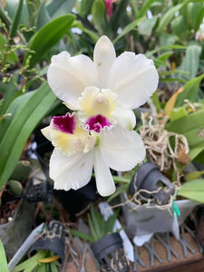 Rth. Elvie Delois Bischoff 'New Wave'