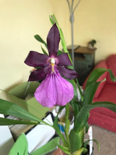 Load image into Gallery viewer, Miltonia spectabilis var moreliana 'Royalty' AM/AOS