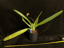 Load image into Gallery viewer, Paph rothschildianum