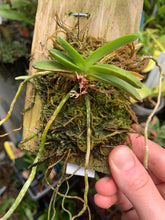 Load image into Gallery viewer, Neofinetia falcata TAMAKONGOU