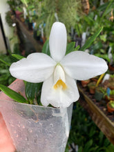Load image into Gallery viewer, Laelia pumila var. alba