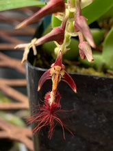 Load image into Gallery viewer, Bulbophyllum barbigerum