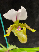 Load image into Gallery viewer, Paph. spicerianum x sib