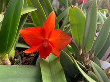 Load image into Gallery viewer, Rlc. Madame Pele (C. Clinton Lewis x S. coccinea)