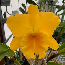 Load image into Gallery viewer, Rlc. Haw Yuan Gold x Frank Gilmore