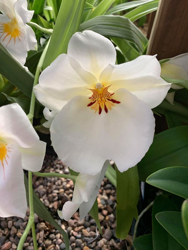 Miltonia Up Country Puna 'Kea'au Starr'