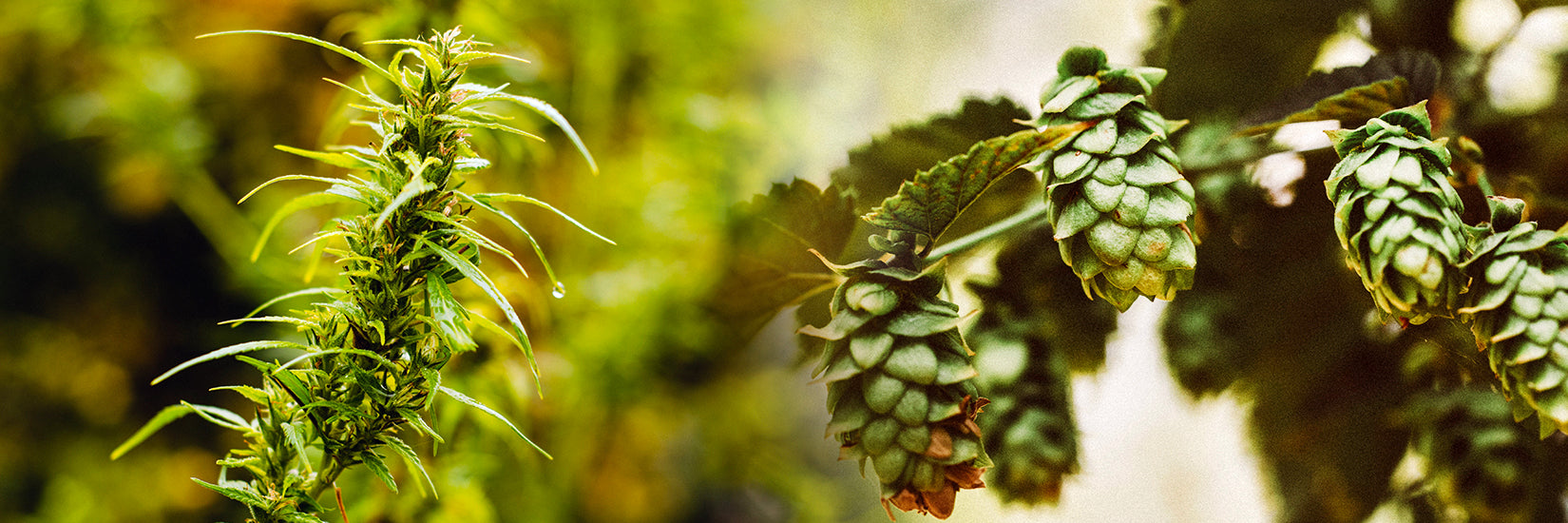 Hops & Cannabis: Can These Two Play Well Together?