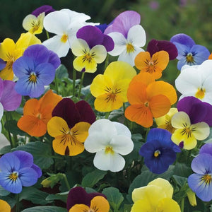 Settler Hives Pansy Seeds