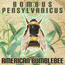 Load image into Gallery viewer, Bombus Pensylvanicus (American Bumblebee)