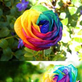 RARE RAINBOW FLOWER SEEDS